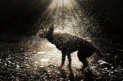 A Dog Shaking Royalty Free Stock Image