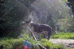 Dog shaking. The bull terrier is shaken off the water Stock Photography