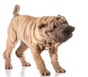 Dog shaking Stock Image