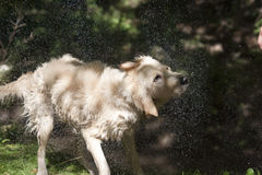 Dog Shaking Dry. Golden Labrador & Standard Poodle mix, shaking off water Royalty Free Stock Image