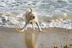 Dog shaking dry on beach Stock Images