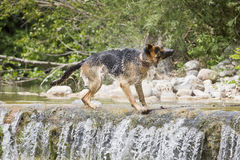 Dog shaking off in the river Royalty Free Stock Photos