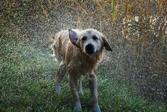 Dog shaking off water Royalty Free Stock Photography