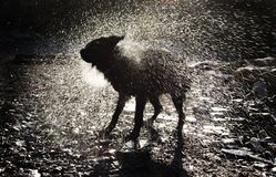 Dog Shaking Off Water. A Black Dog Shaking Off Water After a Bath Royalty Free Stock Images