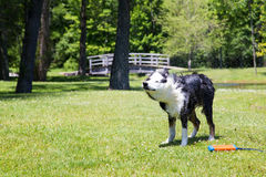 Dog shaking off the water Royalty Free Stock Photos