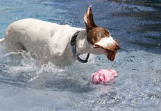 Dog shaking off water Royalty Free Stock Photo