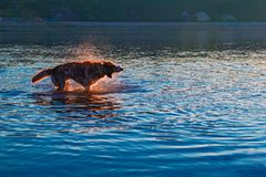 Dog shaking off water standing in the river. Evening landscape with a silhouette of a dog in the rays of the setting sun. Concept of walking with your favorite Royalty Free Stock Photos