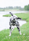 Dog shaking off water after swimming in al river or a lake Royalty Free Stock Photography