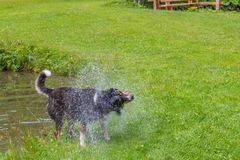 Dog shaking off water after swimming in a local lake Stock Photography