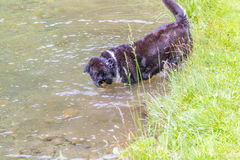 Dog shaking off water after swimming in a local lake Stock Images