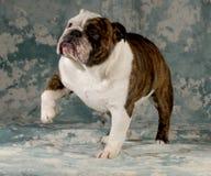 Dog shaking paw Stock Photo
