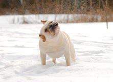 Dog shaking snow off Stock Images