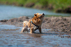 Dog shaking water Royalty Free Stock Images