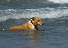 Dog in Shallow Waves Royalty Free Stock Images