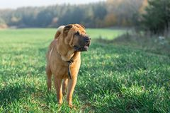 The dog Shar Pei stock photos