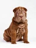 Dog shar pei  puppy. Puppy shar pei red studio Stock Photo