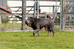 dog sharpei Στοκ φωτογραφία με δικαίωμα ελεύθερης χρήσης