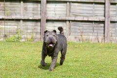 dog sharpei Стоковое Изображение