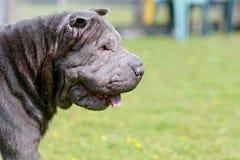 dog sharpei Στοκ Εικόνες