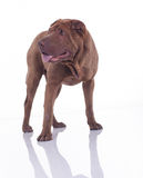 dog sharpei Στοκ Φωτογραφίες