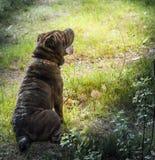 dog sharpei Стоковая Фотография