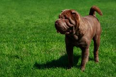 dog sharpei royaltyfri bild