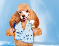 Dog shaves. Stock Images