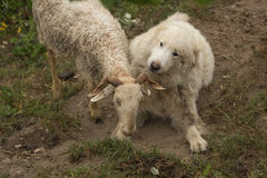 The dog and the sheep Royalty Free Stock Photos