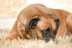 Dog With Sheepish Expression Royalty Free Stock Image
