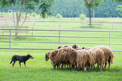 Dog and the sheeps Stock Images