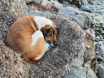 Dog Sheltering From Cold. Large pet dog sheltering from wind and cold in seaweed nest beside beach Stock Photos