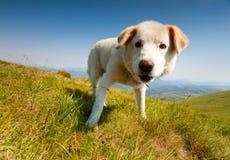 Dog of the shepherd Stock Photo