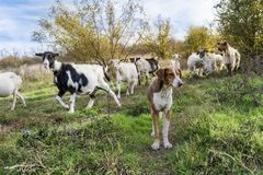 Dog shepherd and goats. Goats on a pasture in Bulgaria Stock Photos