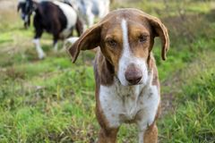Dog shepherd and goats. Goats on a pasture in Bulgaria Royalty Free Stock Photo