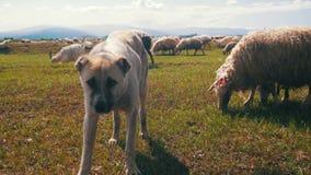 Dog Shepherd Grazing Sheep in the Field stock video footage