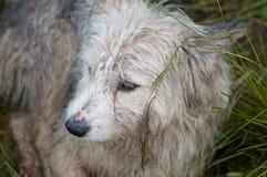 Dog shepherds Royalty Free Stock Photography