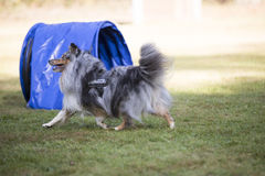 Dog, Shetland Sheepdog, agility Royalty Free Stock Photos