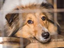 Dog, Shetland sheepdog Stock Photos