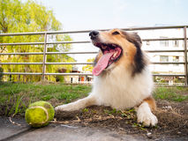 Dog-Shetland sheepdog, collie, big mouth with ball Royalty Free Stock Images