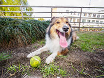 Dog-Shetland sheepdog, collie, big mouth with ball. She was taking a little break during ball retrieving Royalty Free Stock Photography