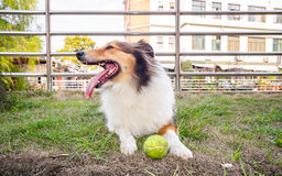 Dog-Shetland sheepdog, collie, big mouth with ball. She was taking a little break during ball retrieving Stock Photo