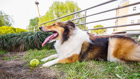Dog-Shetland sheepdog, collie, big mouth with ball Royalty Free Stock Photo