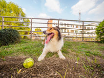 Dog-Shetland sheepdog, collie, big mouth with ball. She was taking a little break during ball retrieving Royalty Free Stock Images