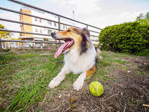 Dog-Shetland sheepdog, collie, big mouth with ball. She was taking a little break during ball retrieving Royalty Free Stock Photos