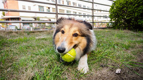 Dog-Shetland sheepdog, collie, big mouth with ball. She was taking a little break during ball retrieving Stock Image