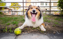 Dog-Shetland sheepdog, collie, big mouth with ball Stock Image