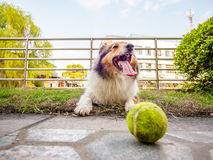 Dog-Shetland sheepdog, collie, big mouth with ball Stock Photos