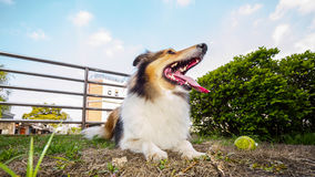 Dog-Shetland sheepdog, collie, big mouth with ball. She was taking a little break during ball retrieving Stock Photography