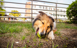 Dog-Shetland sheepdog, collie, big mouth with ball. She was taking a little break during ball retrieving Stock Photos