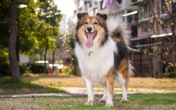 Dog, shetland sheepdog, collie Royalty Free Stock Image